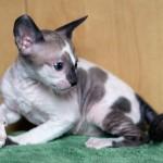 S*Aliosha's Innogen - 6 weeks old